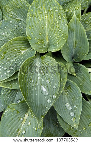 Raindrops on Hosta Plant leaves with appearance like small crystals - stock photo