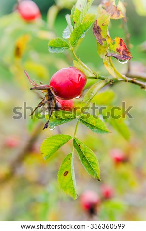 Raindrops on the hips   berries - stock photo