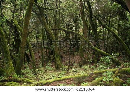 Rainforest in Garajonay National Park, La Gomera, Canary islands