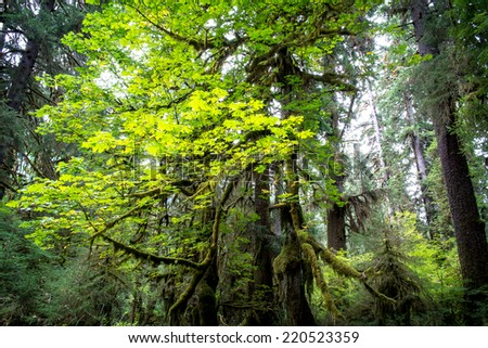 Rainforest Tree in Olympic National Park Washington State USA - stock photo