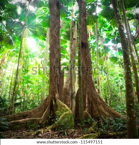 rainforest tropical gigantic trees with fan palms queensland Australia cape tribulation daintree rain forest pristine jungle in nature reserve - stock photo