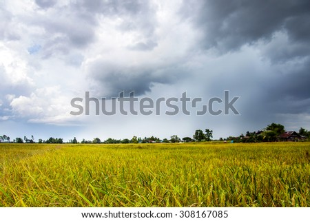 rainy clouds and rice fields