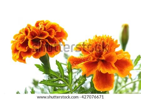 rainy orange marigold blooming in soft mood - stock photo