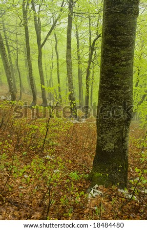 Rainy spring forest, Velebit, Croatia