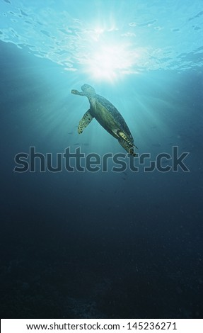 Raja Ampat Indonesia Pacific Ocean hawksbill turtle (Eretmochelys imbricata) swimming in sunbeams shining through water surface low angle view
