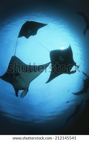 Raja Ampat, Indonesia, Pacific Ocean, silhouettes of manta rays (Manta birostris), low angle view - stock photo