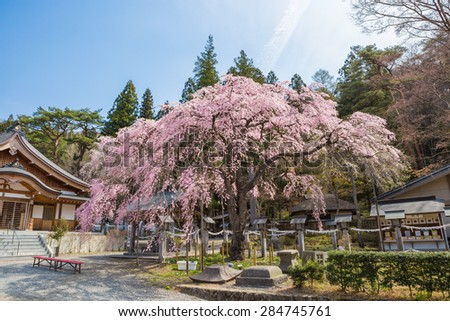 Rakuouzakura , Japanese famous weeping cherry tree - stock photo