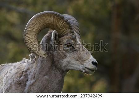 Ram  - stock photo