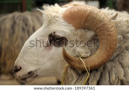 Ram head closeup. - stock photo