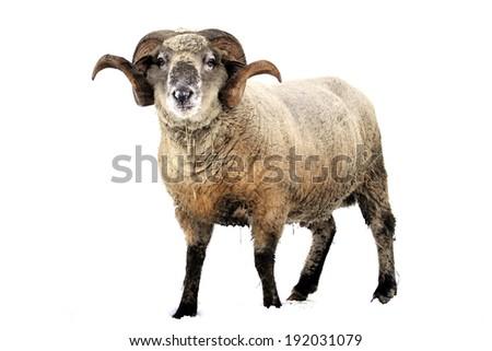 Ram isolated on white background - stock photo