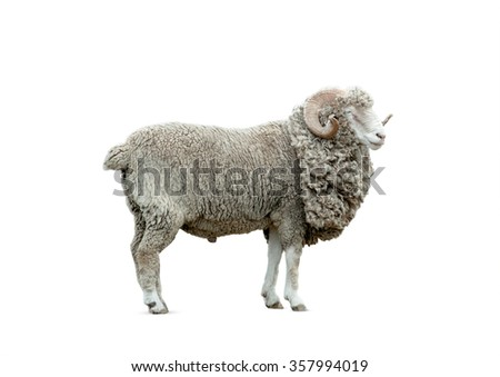 ram isolated over a white background - stock photo