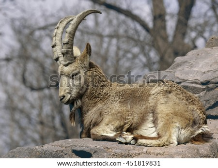 Ram lying on a rock - stock photo