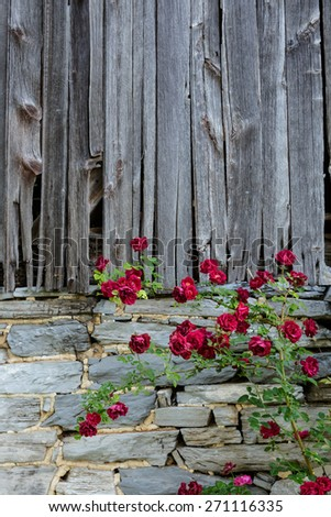 Rambling red Roses against an old barn - stock photo