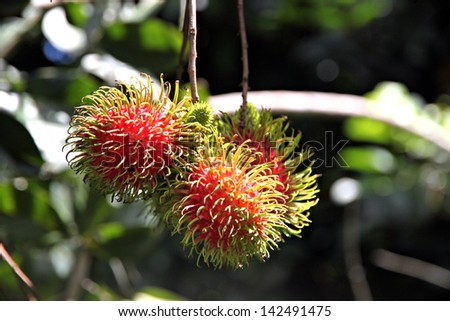 Rambutan is Tropical local fruit of Thailand.