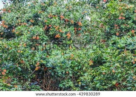 Rambutan on the tree - stock photo
