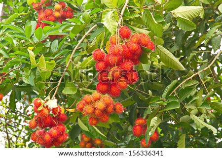 rambutan tree stock photo   shutterstock, Natural flower