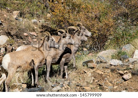 Rams on Hillside Four male rams or 'Big Horn Sheep' on a steep hillside.  The background is shrubs and rocks.  Big Horn Sheep or Rams are the official  state animal of Colorado. - stock photo