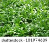 Ramsons (Allium ursinum, buckrams, wild garlic, broad-leaved garlic, wood garlic, bear leek, bear's garlic) - stock photo