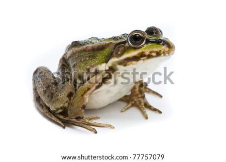 Rana ridibunda. Lake frog on white background - stock photo