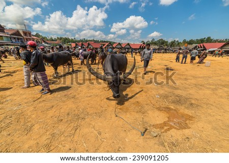 Rantepao, Indonesia - September 7, 2014: buffalo for sell in the famous outdoor livestock market, held every 6 days in Rantepao, Tana Toraja, South Sulawesi, Indonesia. - stock photo