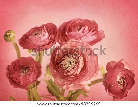 Ranunculus flowers on red background - stock photo