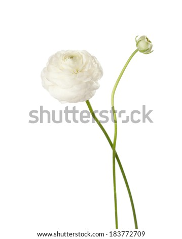 Ranunculus  isolated on white. - stock photo
