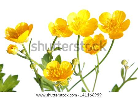 Ranunculus repens (Creeping Buttercup) - stock photo