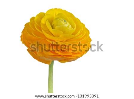 ranunculus yellow on white background - stock photo