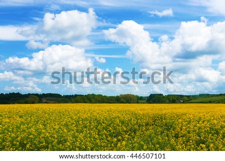 Rape crop in farmer's field with summer blue sky