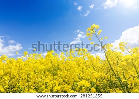Rape farm in sunny day - stock photo
