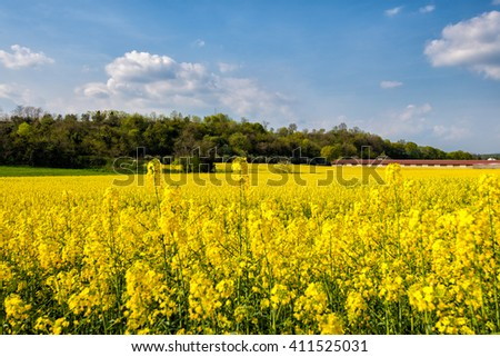 rape field - stock photo