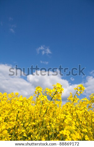 rape field and blue sky with clouds in summer - stock photo