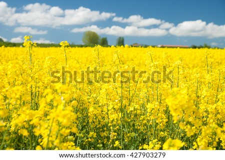 rape field and with blue sky