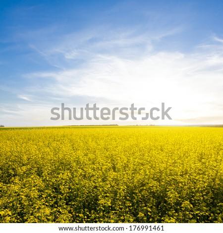 rape field at the sunrise - stock photo