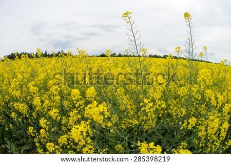 Rape field with many yellow flowering plant / Rape field - stock photo