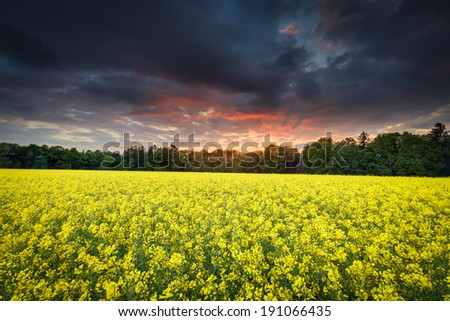 Rape field with stormy clouds during red sunset - stock photo