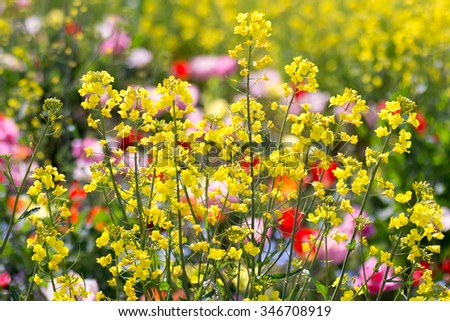 Rape flowers and a tulip