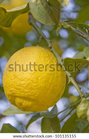 Rape lemons on the tree - stock photo