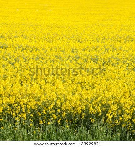 Rape seed field - stock photo