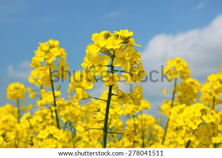 Rape seed flowers in field with blue sky and clouds - stock photo