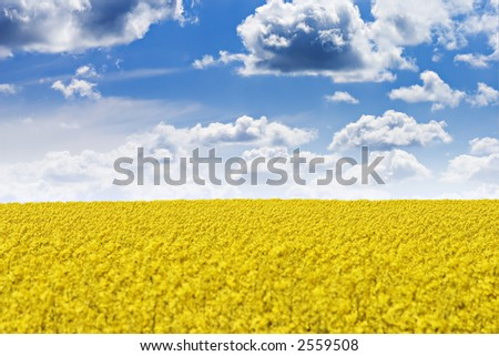Rapeseed field and blue sky with fluffy clouds