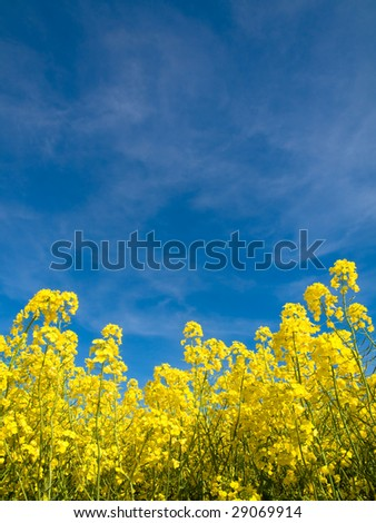 Rapeseed field at spring under blue sky and clouds - stock photo