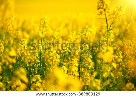 Rapeseed field, Blooming canola flowers close up. Rape on the field in summer. Bright Yellow rapeseed oil. Flowering rapeseed - stock photo