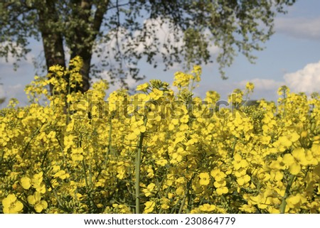 Rapeseed Field. Canola in springtime. - stock photo