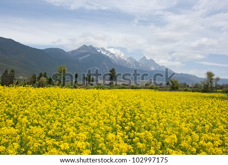 Rapeseed field in Baisha Old Town with Jade dragon snow mountain background, Lijiang China - stock photo