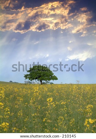 Rapeseed field in Kent, England - stock photo