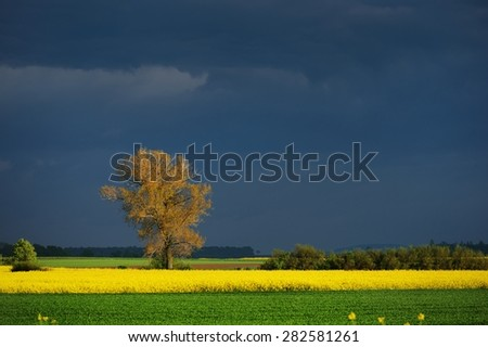 Rapeseed field in Poland - stock photo
