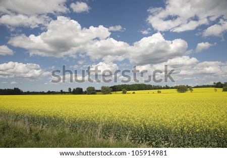 rapeseed field in spring on a sun-cloudy day - stock photo