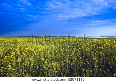 Rapeseed field in spring with blue sky and clouds - stock photo