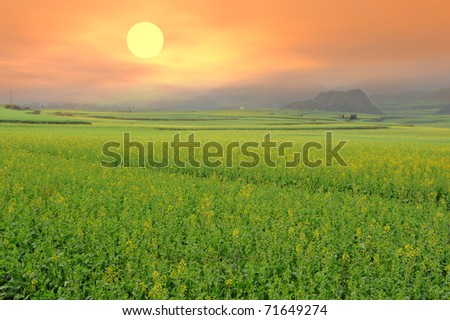 rapeseed field in the springtime - stock photo